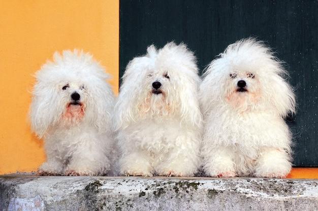 Weißer bichon bolognese hund