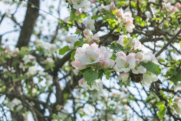 Weißer blühender apfelbaum des frühlinges im garten. tiefenschärfe
