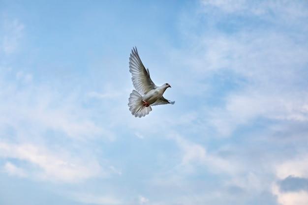 Weißer federtaubenvogel, der gegen schönen blauen himmel fliegt