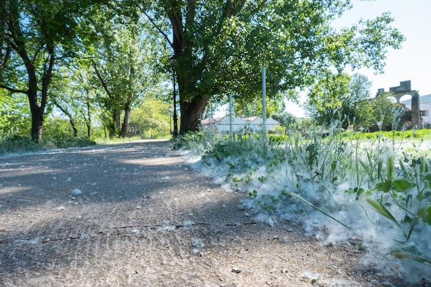 Weißer flaum liegt am straßenrand auf dem grünen graskonzept pappelallergie-frühlingszeit