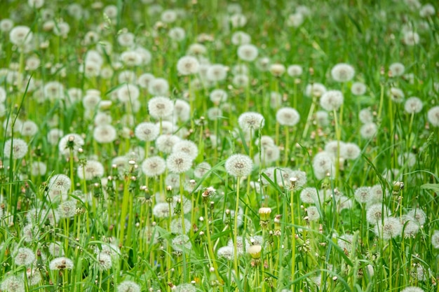 Weißer, flauschiger löwenzahn, natürliche grüne verschwommene oberfläche