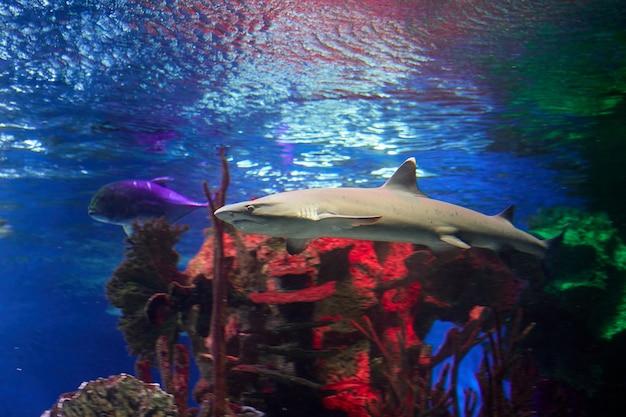 Weißer gekippter riffhai hinter glas des meerwasseraquariums in der russischen stadt st. petersburg.