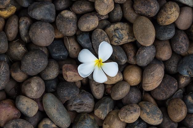 Weißer gelber blume plumeria oder frangipani auf dunklem kieselfelsen für badekurorthintergrund
