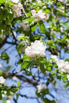 Weißer großer blütenstand von apfelbäumen im obstgarten