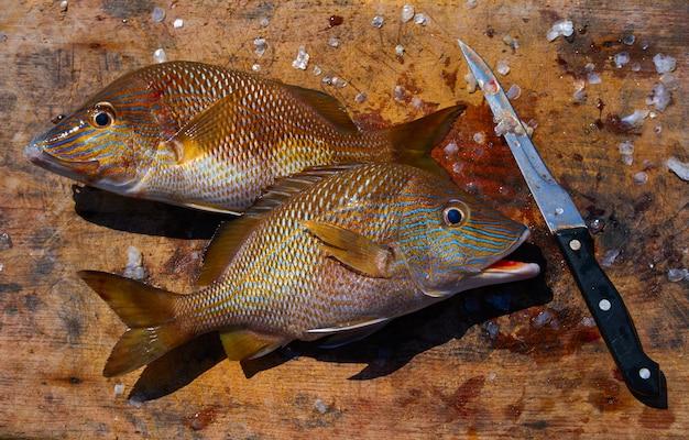 Weißer grunzenfisch haemulon plumieri