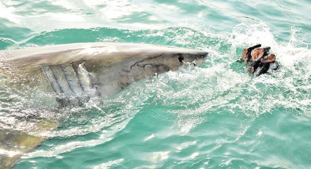 Weißer hai, der die meeresoberfläche durchbricht, um fleischköder zu fangen