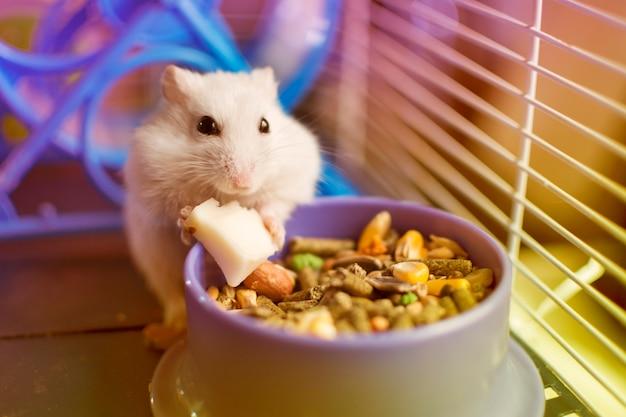 Weißer hamster, der ein stück käse von seiner nahrungsmittelteller isst