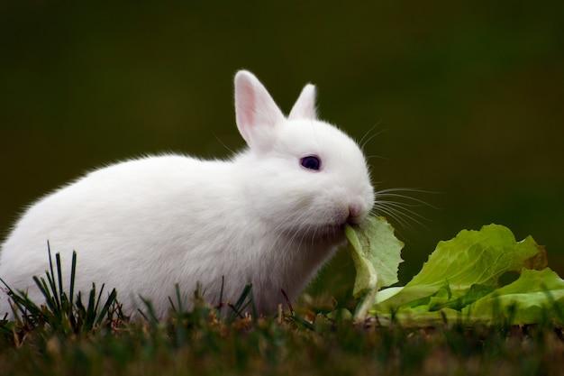 Weißer hase frisst kohl im gras.