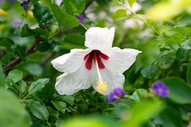 Weißer hibiscus, chinesische rosafarbene blume