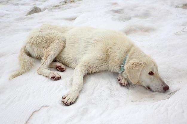Weißer hund, der auf travertinen in pamukkale liegt