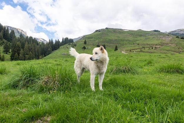 Weißer hund, der die berge erforscht