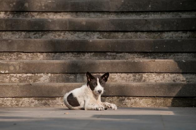 Weißer hund mit dem niederlegen und dem neugierigen schwarzen gesicht
