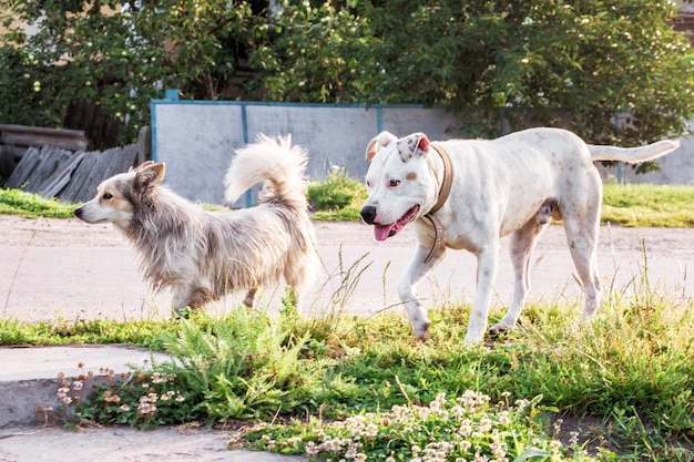 Weißer hund pitbull auf einem spaziergang mit einem mischlingshund. zwei hunde beim spaziergang durch die dorfstraße
