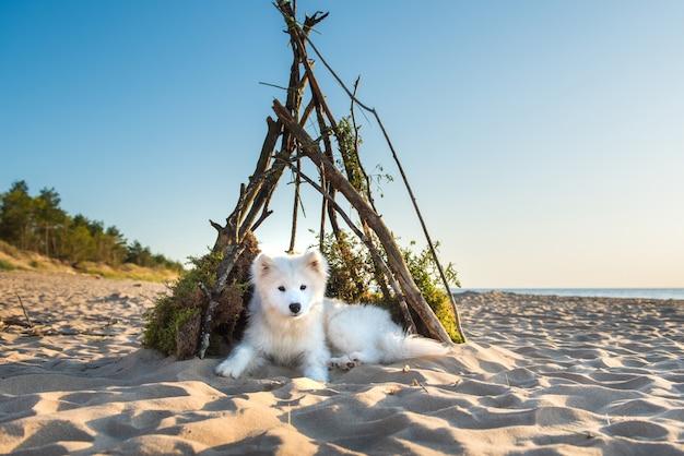Weißer hund samoyed sitzt in einer hundehütte am ufer des meeres