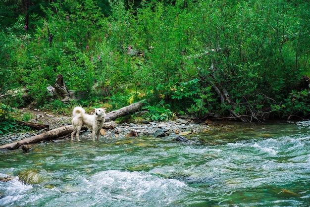 Weißer hund schwimmt gebirgsfluss auf hintergrund der reichen vegetation. der beste freund des menschen im wasser. schneller strom im gebirgsbach. nasses tier auf natur. erstaunliche landschaft mit haustier.