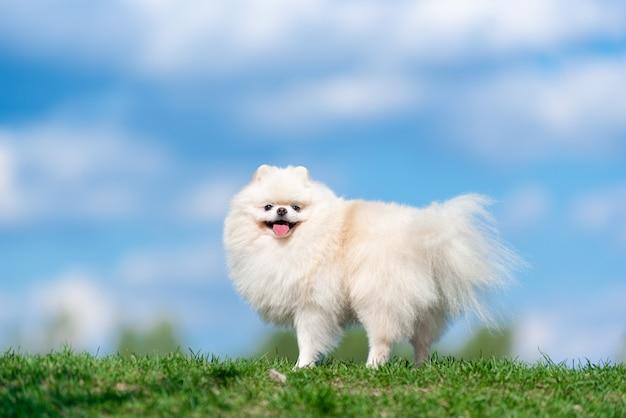 Weißer hunderasse spitz auf grünem gras auf blauem wolkenhimmel.