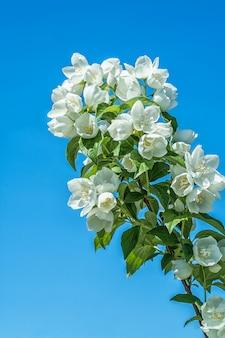 Weißer jasmin blüht an einem sommertag gegen einen blauen himmel.