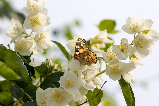 Weißer jasmin