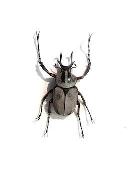 Weißer käfer