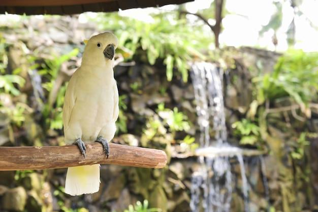Weißer kakadu, gelbhaubenkakadu (cacatua galerita)