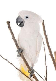 Weißer kakadu im studio