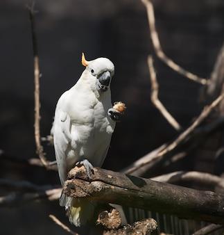 Weißer kakadu