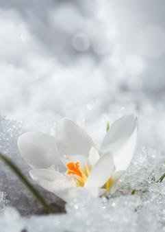 Weißer krokus im schnee im frühjahr. erste blüten im frühling. schöne weiße blume in der sonne.