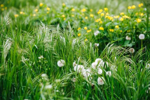 Weißer löwenzahn zwischen grünem und üppigem gras.