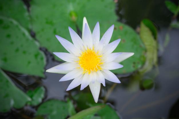 Weißer lotos mit dem gelben blütenstaub auf oberfläche von teich