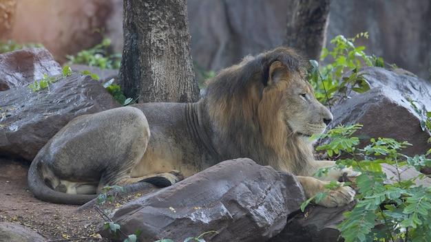 Weißer männlicher löwe, der im wald stillsteht