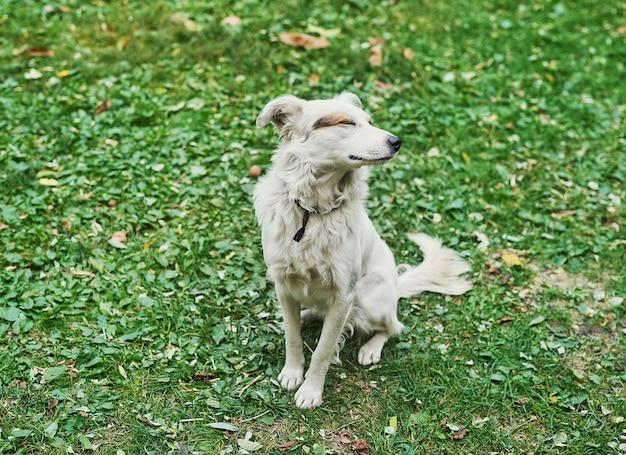 Weißer mischling obdachloser hund auf grünem gras tag des schutzes obdachloser tiere
