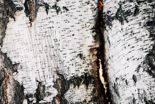 Weißer naturhintergrund der birkenrinden-nahaufnahme. ebene der birkenstammoberfläche. baum strukturierter hintergrund. detaillierte natürliche textur des birkenstammes. abstraktes modell. hintergrund mit kopierraum.