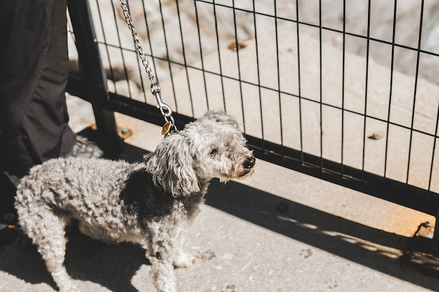 Weißer netter flaumiger pudelhund, der auf den straßenhintergrund spielt und geht