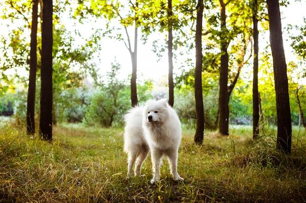 Weißer niedlicher hund, der im park bei sonnenuntergang geht.