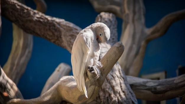 Weißer papagei, der auf einem baum sitzt und für gefieder sorgt