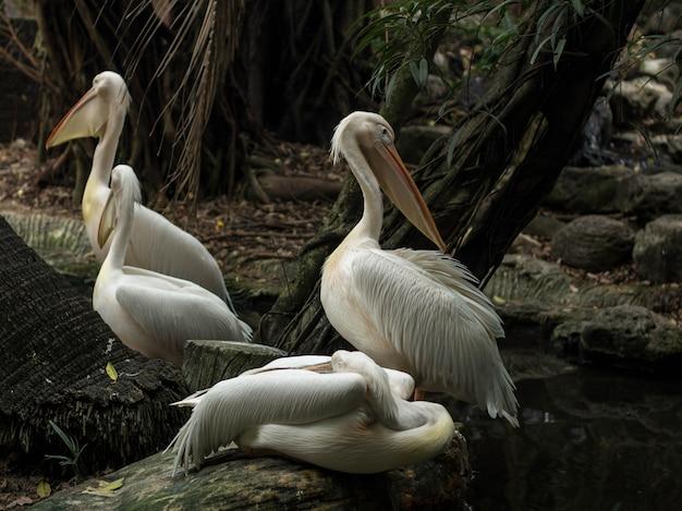 Weißer pelikan am flussufer