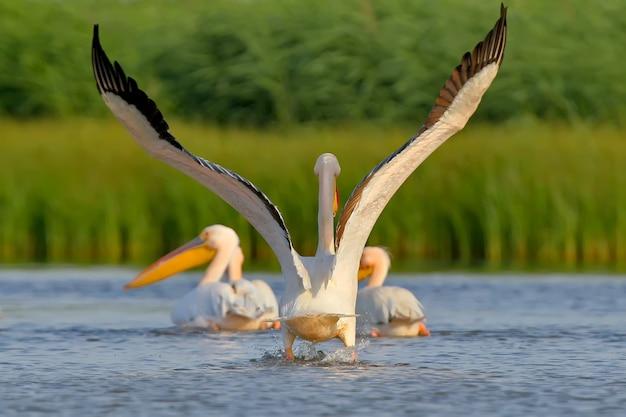Weißer pelikan mit offenen flügeln