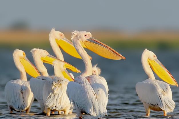 Weißer pelikan schwebt dem sonnenaufgang entgegen