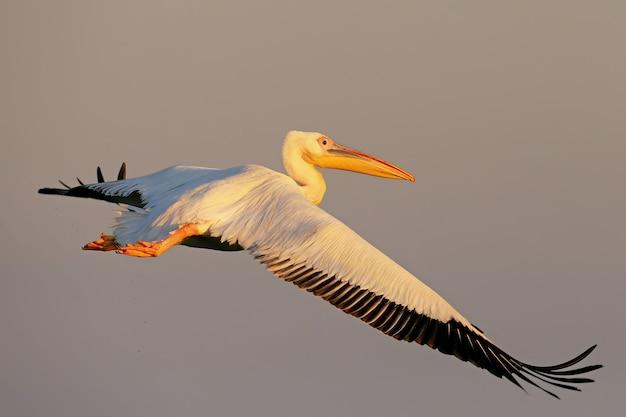 Weißer pelikanflug gegen sonnenaufgang im weichen morgenlicht.