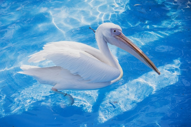 Weißer pelikanvogel mit gelbem langen schnabel schwimmt im wasserbecken, nah oben