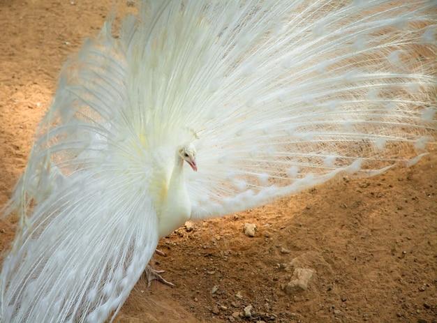 Weißer pfau, der seine verbreitung zeigt