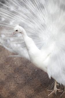 Weißer pfau im zoo