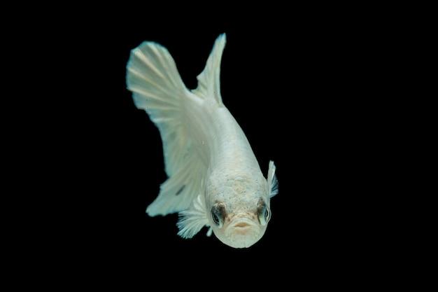 Weißer platin-betta-fisch, siamesischer kampffisch auf schwarz