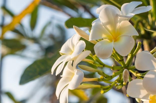 Weißer plumeria blüht mit dem schönen sonnenlicht, frangipaniunschärfehintergrund