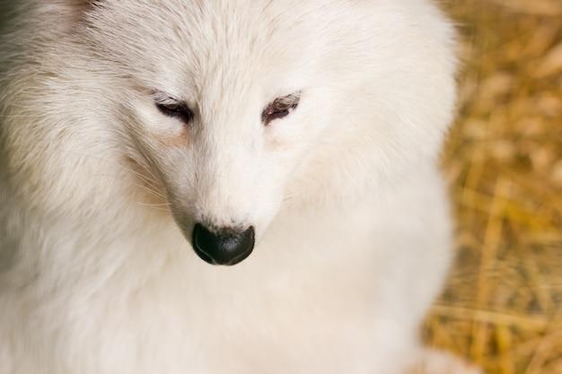 Weißer polarfuchs im zoo