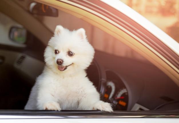 Weißer pomeranian-hund, der aus dem wartehalter des autofensters heraus schaut.