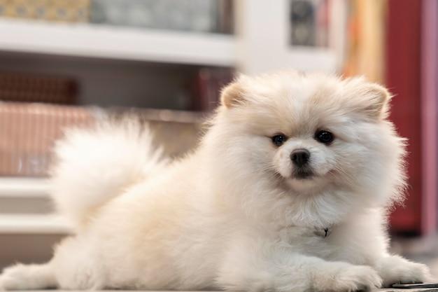 Weißer pommerscher hund lügt und schaut in die kamera.