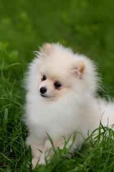Weißer pommerscher hund