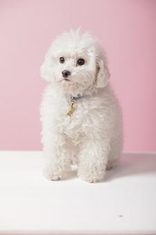 Weißer pudel sitzt mit einer rosa wand