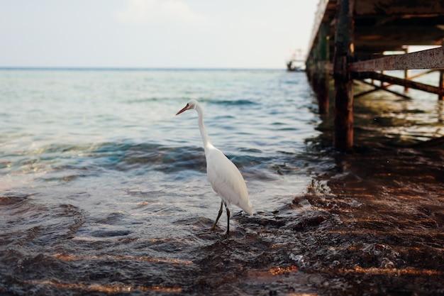 Weißer reiher, der auf strand durch pier in ägypten geht. reiher auf der suche nach nahrung. wilde vögel